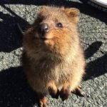 Le quokka, animal le plus heureux du monde